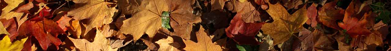 Fall leaves - image courtesy of hamon jp at Wikimedia Commons.